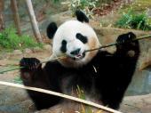 [東京] 4月11日(4/11)  女性満席!男性急募!お花見シーズンに!!大人の遠足!みんなでパンダを見に行こう♪上野動物園巡るウ...