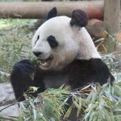 [東京] 4月29日(4/29)  動物たちに癒されよう!上野のパンダを見に行こう♪上野動物園巡る30代40代ウォーキングコン!