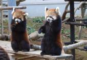 [千葉] 10月21日(10/21)  後ろ足で立つことができるレッサーパンダが人気!千葉動物園コン