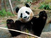 [東京] 11月7日(11/7)  みんなでパンダを見に行こう♪上野動物園巡る30代40代ウォーキングコン!