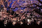 [東京] 4月2日(4/2) 幻想的な日本の風物詩を堪能できる!日本庭園夜桜ウォーキングコン!