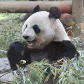[上野] 1月26日(1/26)  祝!赤ちゃんパンダ誕生!上野動物園に人気のパンダを見に行こう!動物園ウォーキングコン!