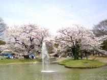 [代々木公園] 3/31(日)代々木公園お花見<参加費:無料>