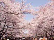 [熊谷] 4/6(日) 熊谷 春を満喫しながら最高な出会いを…お花見交流パーティー/ 80名パーティー