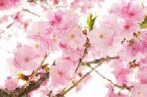 """[上野] 4.5(土)◆【上野公園☆花見】桜が咲き乱れる名所""""上野公園""""にて☆東京最大規模500名大宴会!!"""