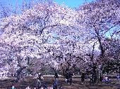 [新木場] 3月28日(土)150名超え!BGM付!!満開のお花見会《飲み放題×BBQ》IN新木場