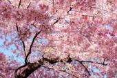 [代々木公園] 大人の自由研究会『お花見』満開のお花と美味しいお酒、手作り団子を食べながらワイワイ友達作り♪