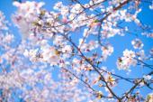 [代々木公園] 4月1日 代々木公園 お花見会♪ 男性2000円 女性1000円♪